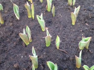 Gemeente Apeldoorn Canada Tulp